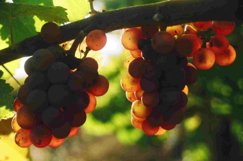 Trousseau Gris grapes ready to pick